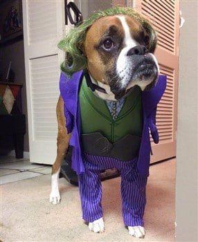 Boxer dog as the Joker costume