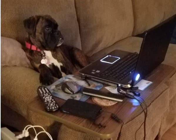 boxer-dog-at-computer-funny-pic-