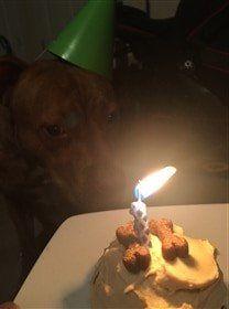 Boxer dog birthday celebration with cake