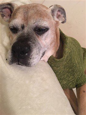 boxer-dog-graying-on-coat