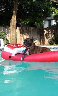 Boxer dog in swimming pool