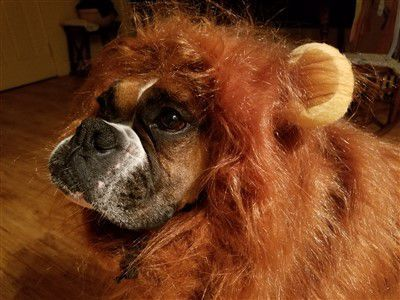 boxer-dog-lion-mane-costume & Boxer Dogs on Halloween
