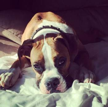 Boxer dog male 1 year old