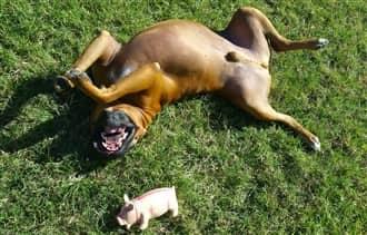 Boxer Dog Mast Cell Tumors