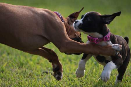 Two Boxer Dogs Playing Together
