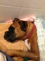 Boxer dog after blockage surgery