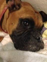 Boxer dog resting after surgery