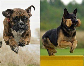boxer-dog-vs-german-shepherd