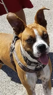 Boxer dog wearing a harness