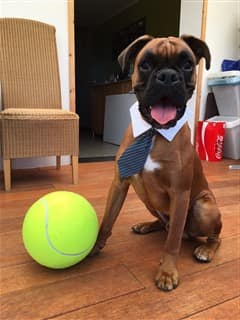 Boxer dog wearing a tie