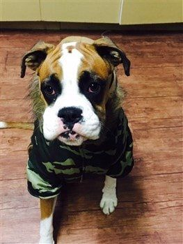 Boxer dog wearing winter coat
