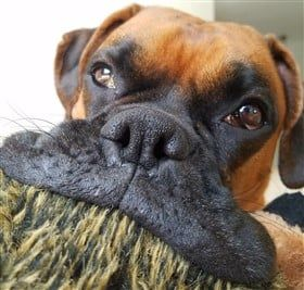 boxer-dog-with-big-mouth