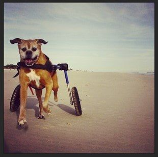 Boxer Dog Running with Wheelchair