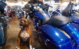 Boxer dog with motorcycles