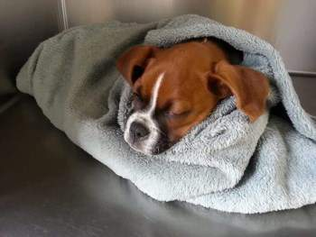 Boxer dog wrapped in a towel