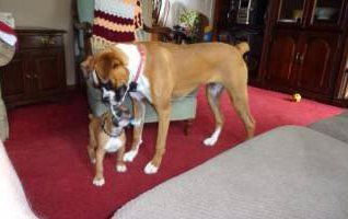 two Boxer dogs, old and young