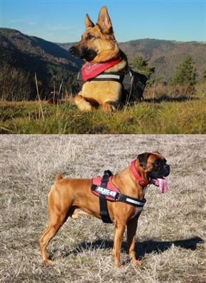 boxer-german-shepherd-compare-