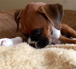 Boxer puppy that lived through parvo