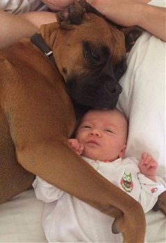 Boxer dog with baby
