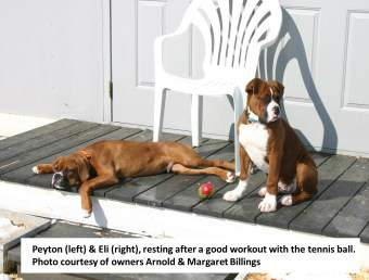 Two Boxer Dogs on Front Deck