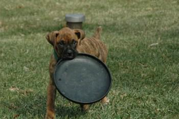 Young Boxer dog with frisbee