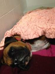 Boxer dog on medications
