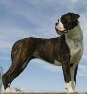large Boxer dog