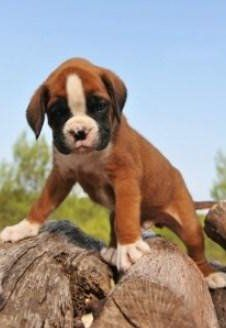 cute Boxer puppy standing on rock