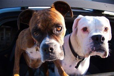 fawn-boxer-and-white-boxer