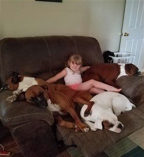 four Boxer dogs on chair with young child