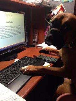 Boxer dog at computer