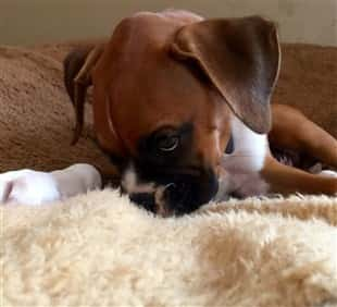 The Boxer Puppy That Survived Parvo