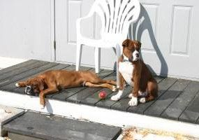 Boxer dogs resting after exercise