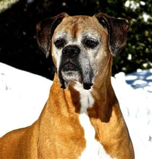 Boxer Dog Degenerative Myelopathy