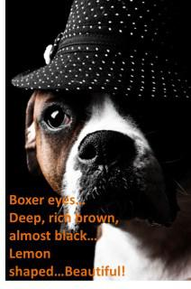 Boxer dog eye boogers