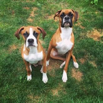 two Boxer dogs sitting outside