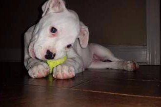 white Boxer dog, female