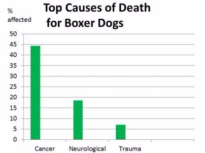 Why Boxer dogs don't live long
