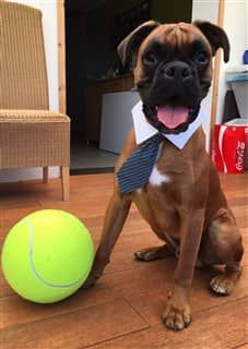 young Boxer dog wearing a tie with large yellow ball