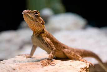 A gecko