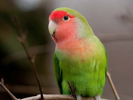 pappagallino