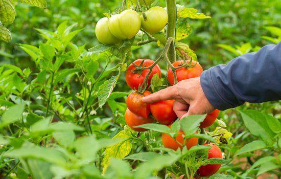 Un uomo indica un grappolo di pomodori rossi