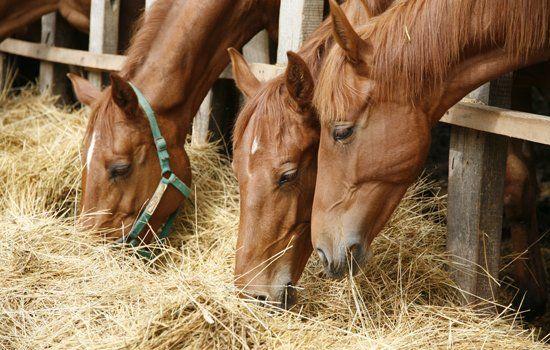 Cavalli che mangiano fieno