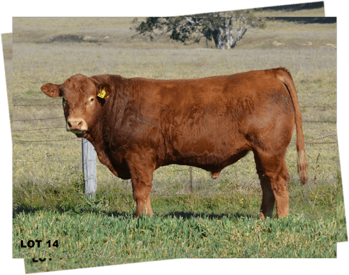 Lot 14 Limousin