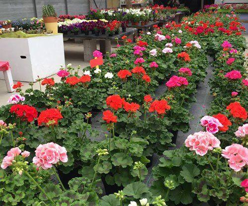 Vista ravvicinata di gerani fioriti in vari colori, altri piante fiorite all'interno di una fioreria