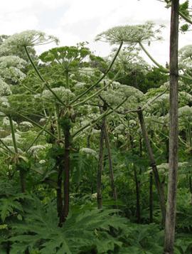 tree weeds