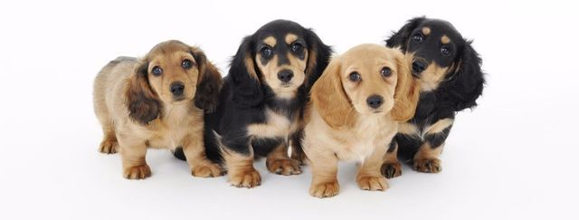 Dachshund Puppies Color And Pattern