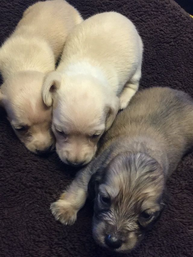 dachshund puppy for sale
