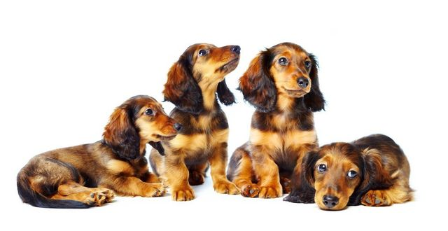 Dachshund Genetics - Color, Coat and Pattern