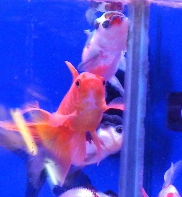 Fancy goldfish, coldwater fish and axolotls